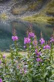 Alaska  Hatchers Pass  Summit Lake Fireweed