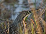 American Bittern  Viera Wetlands  Florida  Usa