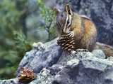 Least Chipmunk Eating a Cone  Montana  Usa