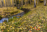 Fallen Aspen Leaves Carpet the Forest Floor in the Uncompahgre National Forest  Colorado  Usa