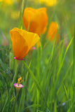 California Golden Poppies in a Green Field