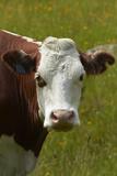 Cow  Matukituki Valley  Near Wanaka  Otago  South Island  New Zealand
