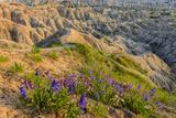 Penstemon Wildflowers in Badlands National Park  South Dakota  Usa
