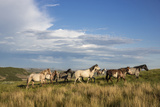 Wild Horses in Theodore Roosevelt National Park  North Dakota  Usa