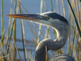 Great Blue Heron  Ardea Herodias  Viera Wetlands  Florida  Usa