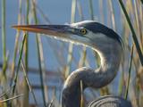 Great Blue Heron  Ardea Herodias  Viera Wetlands  Florida  Usa