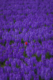 Hyacinth Flower Fields in Famous Lisse  Holland