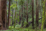 Mature Redwood Forest in Muir Woods National Monument in Mill Valley  California  Usa