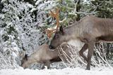 A Mountain Caribou  Endangered