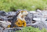 Ecuador  Galapagos Islands  Plaza Sur  Land Iguana  Male Land Iguana Portrait