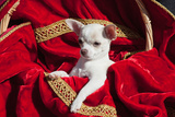Chihuahua Puppy Surrounded in Red and Gold