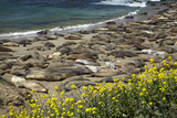 Northern Elephant Seals  Piedras Blancas Elephant Seal Rookery  Near San Simeon  California