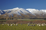 Sheep and Kakanui Mountains  Kyeburn  Central Otago  South Island  New Zealand