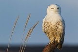 Snowy Owl  Feathered Feet
