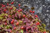 Alaska  Hatchers Pass  Bunch Berry