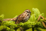 Canada  Nova Scotia  Cape Breton  Song Sparrow  Melospiza Melodia