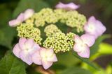 Massachusetts  Reading  Pink Lacecap Hydrangea