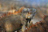 Dominant Male Green Iguana  Costa Rica