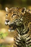 Mexico  Panthera Onca  Jaguar Portrait