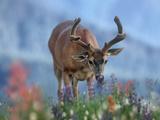 Mule Deer in Velvet  Olympic National Park  Washington State  Usa