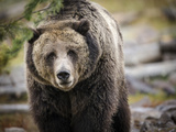 Brown Bear  Grizzly  Ursus Arctos  West Yellowstone  Montana