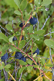 Alaska  Hatchers Pass  Low Bush Blueberry