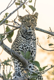 Botswana Okavango Delta Khwai Concession Leopard Up in a Tree at Sunset