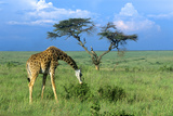 Masai Giraffe Grazing on the Serengeti with Acacia Tree and Clouds