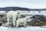 Polar Bear and Cub Walk Along Harbor Islands Shoreline  Hudson Bay  Canada  Nunavut Territory