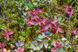 Alaska  Hatchers Pass Bunch Berry and Low-Bush Blueberry