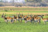 Botswana Okavango Delta Khwai Concession Red Lechwe Herd