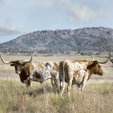 Longhorn Cattle, Texas, Usa Papier Photo par Tim Fitzharris