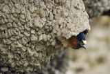 Cliff Swallow  Emerging from Nest