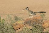 Arizona  Amado Greater Roadrunner with Lizard