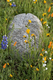 California Poppies with Boulder in a Field