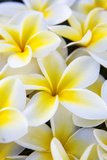 Hawaii  Maui  Plumeria in Mass Display