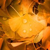 Ginkgo Yellow Leaf