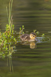Mottled Duck Duckling on Pond