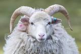 Foula Sheep on the Island of Foula Shetland Islands  Scotland