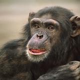 Chimpanzee Headshot  Kenya  Africa