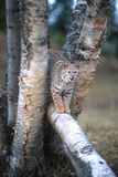Bobcat on a Fallen Birch Limb