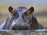 Hippopotamus  Kenya  Africa