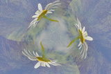 Oxeye Daisy Composite with Textured Background
