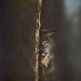 Canada Lynx  Montana  Usa