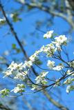 Georgia  Savannah  Flowering Dogwood