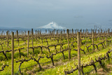 Washington  Columbia River Gorge Rows of Barbera Grapes with Mt Hood in Background
