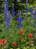 Lupine and Indian Paintbrush Wildflowers  Stillwater State Forest  Montana