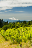 Washington State  Columbia River Gorge Vineyard with View of Mt Hood