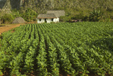 Cuba  Vinales a Field of Tobacco Ready for Harvesting on a Farm in the Valley