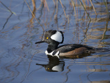 Hooded Merganser  Viera Wetlands  Florida  Usa